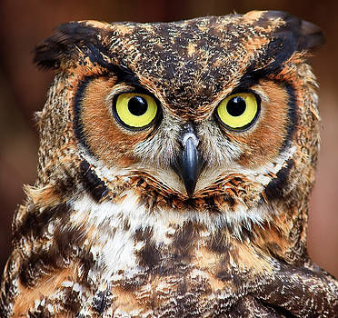 Jill Lang - Great Horned Owl Head