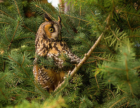 Great Horned Owl by Roy Nierdieck