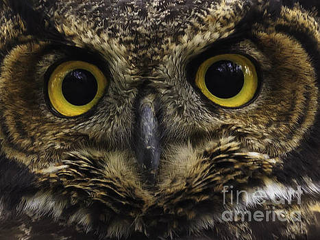 Great horned owl by Tim Hauf