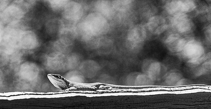 Green Anole in Black and White by Randy Bayne