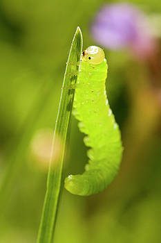 Green caterpillar by Jouko Mikkola