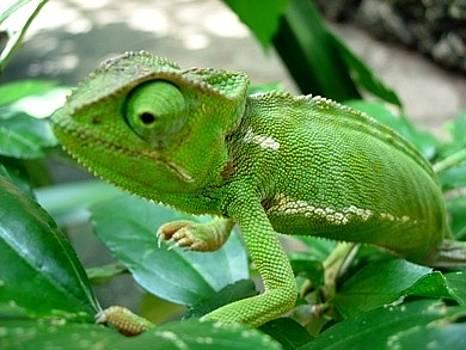 Green Chameleon by Stephen OHara