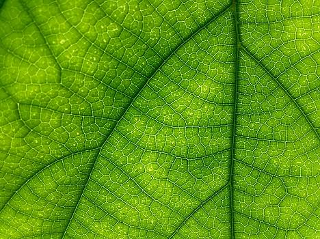 Green Leaf Macro by Tilen Hrovatic