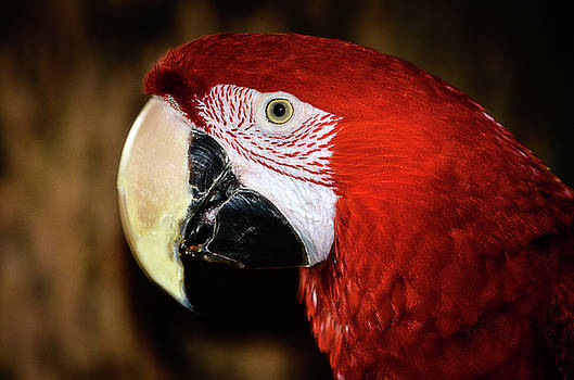 Green-winged macaw  by Kathryn Potempski