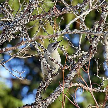 Grey-headed woodpecker by Jouko Lehto