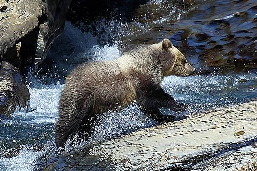Griz Cub Logan Pass by Bill Keeting