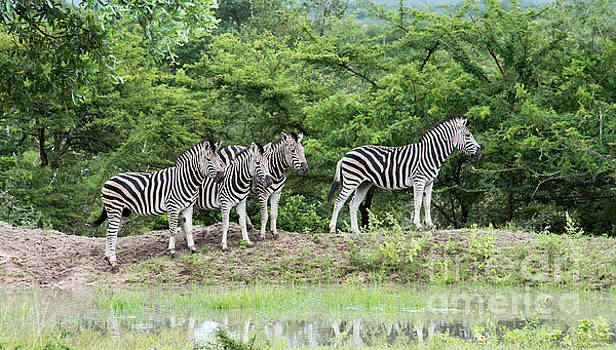 Compuinfoto - group of zebras in south africa in the wild nature