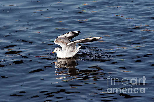 Gull on the water by Michal Boubin