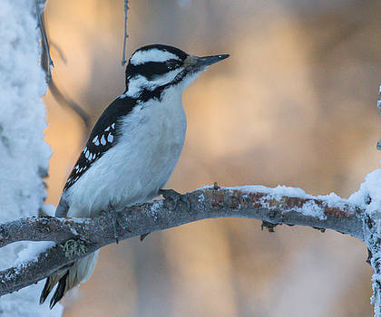 Dee Carpenter - Hairy Woodpecker Female