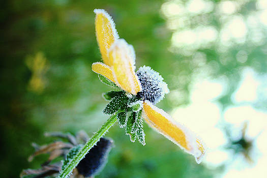 Frosted Flower by Amy Layton