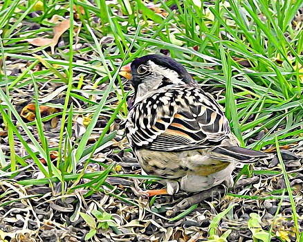 Harris Sparrow by Kathy M Krause