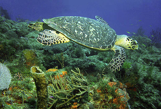 Hawksbill Sea Turtle by Richard Nickson