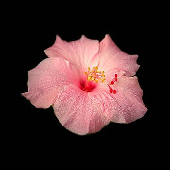 Hibiscus by David Weeks
