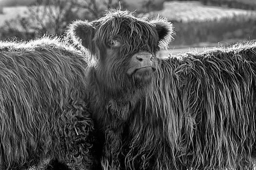 Jeremy Lavender Photography - Highland Cow