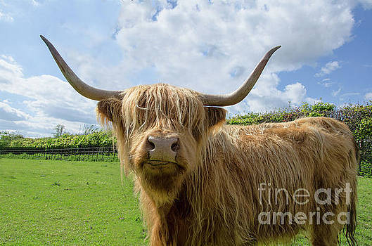 Highland cow by Steev Stamford