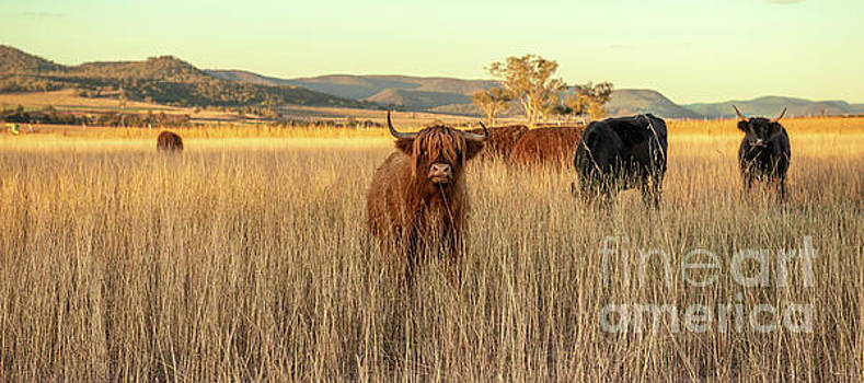 Highland cows on the farm by Rob D