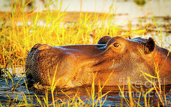 Hippopotamus Chobe River  by Tim Hester
