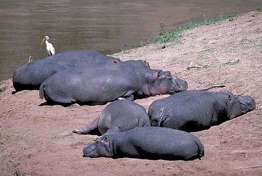 Hippos Sleep on Bank of Mara River by Carl Purcell