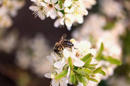 Honeybee at work by Jeff Swan