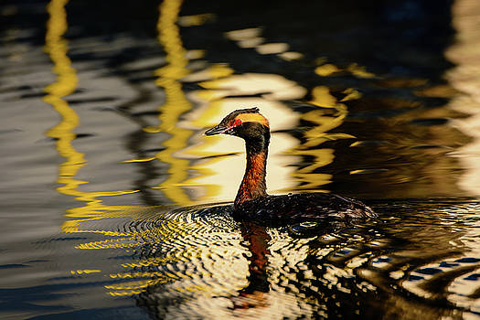 Michael McAuliffe - Horned Grebe in Breeding Plumage