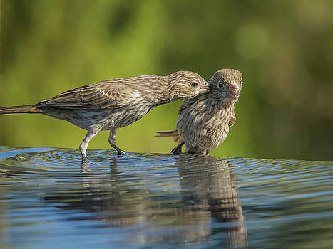 House Finch Female Adult and Juvenile 3073 by Tam Ryan