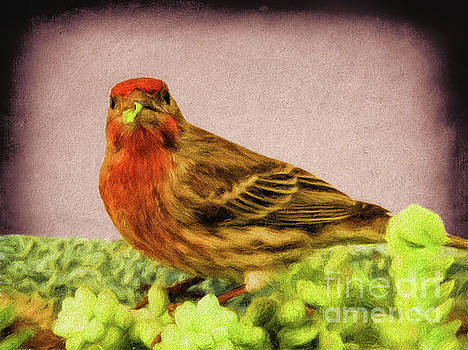 House Finch by Mariola Bitner