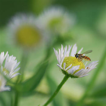 Michael Peychich - Hoverfly