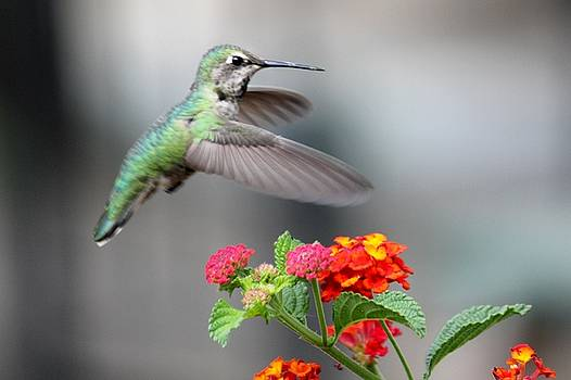 Humming Bird by Douglas Miller