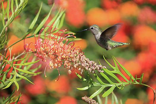 Hummingbird in Mid-Flight by Kay Kochenderfer