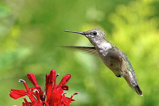 Hummingbird by Jim Nelson