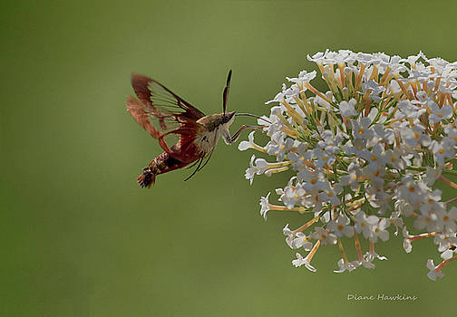 Hummingbird moth by Diane Hawkins