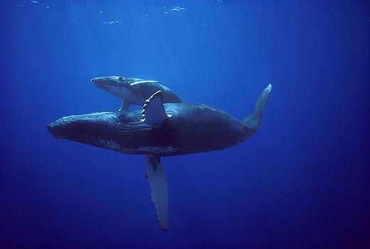 Flip Nicklin - Humpback Whale and Calf