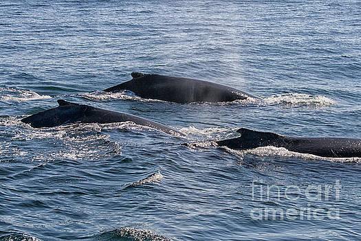 Humpback whales in ocean by Patricia Hofmeester