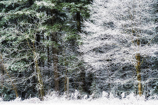 Iced Trees by Thomas R Fletcher