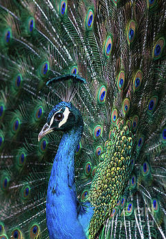 Indian Peacock with tail feathers up by Andrew Michael