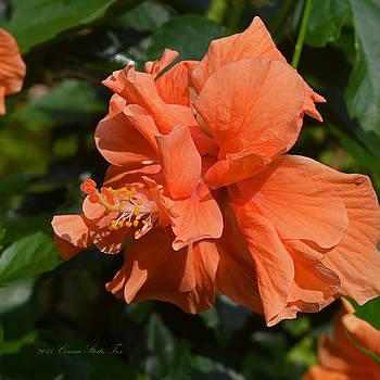 Connie Fox - Intricate Beauty. Apricot Hibiscus Flower