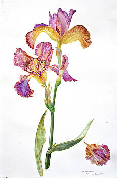 Iris Germanica Species 2 by Dianne Green