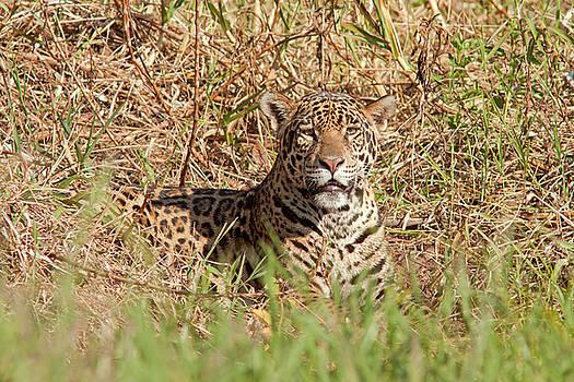 Jaguar Watching by Aivar Mikko