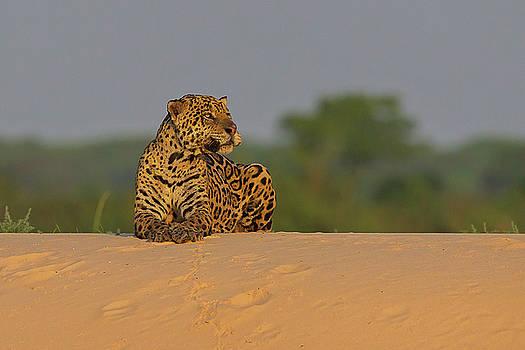 Jaguar by Jean-Luc Baron