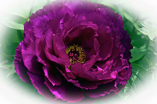 Japanese Peony  by Rob Mclean