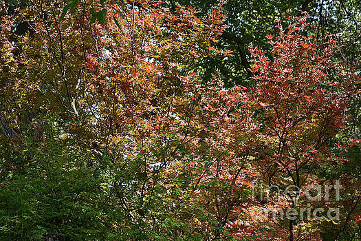 Japanese Red Maple by Ruth Housley