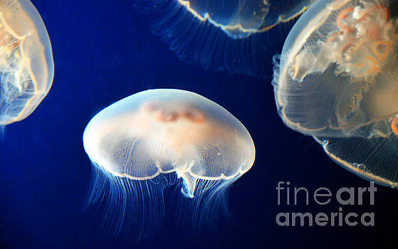 Jellies by Frank Larkin