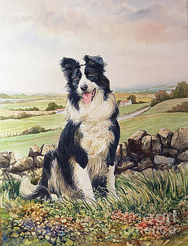 Jesse the Border Collie by Anthony Forster