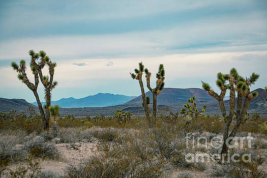 Joshua Trees with hills in the background in the USA by Amanda Mohler