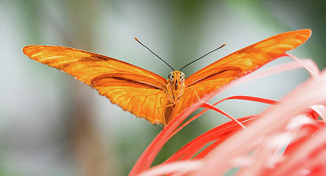 Julia Butterfly by Cathy Donohoue