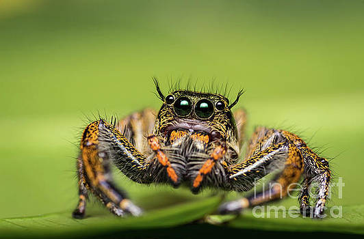 Jumping Spider on green leaf. by Tosporn Preede