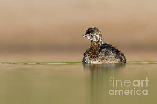 Juvie Pied Billed Grebe by Bryan Keil