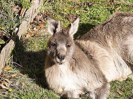 Steven Ralser - Kangaroo - Canberra- Australia