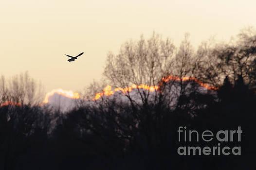 Kestrel hunting at sunset by Paul Farnfield