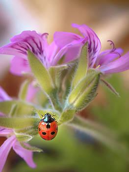 Ladybird by Meir Ezrachi